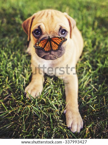 a cute chihuahua pug mix puppy (chug) looking at the camera with grass in his mouth and a butterfly on his nose in a backyard during summer toned with a retro vintage instagram filter app or action  - stock photo