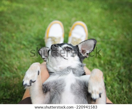 a cute chihuahua sleeping in a person's lap in the grass (focus on the nose - very shallow depth of field)  - stock photo
