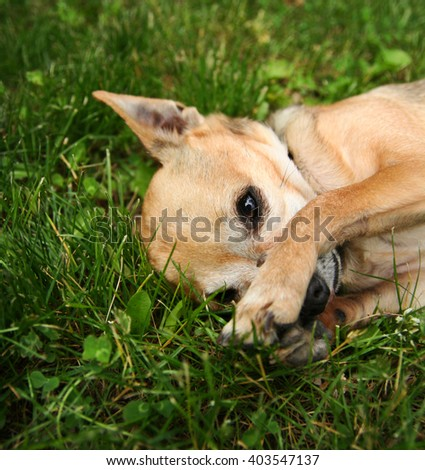 a cute chihuahua with his paws over his nose on green grass lawn in a backyard or park - stock photo