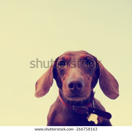 a cute dachshund looking down at the camera toned with a retro vintage instagram filter app or action - stock photo