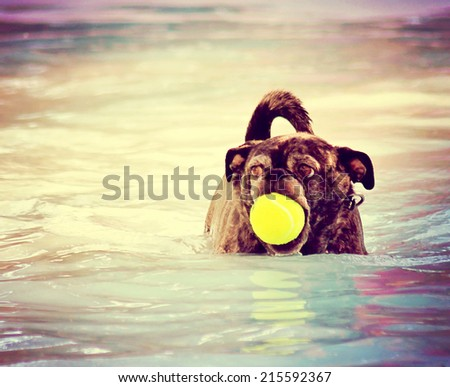 a cute dog at a local public pool toned with a retro vintage instagram filter effect  - stock photo