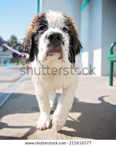a cute dog having fun at a local public swimming pool  - stock photo