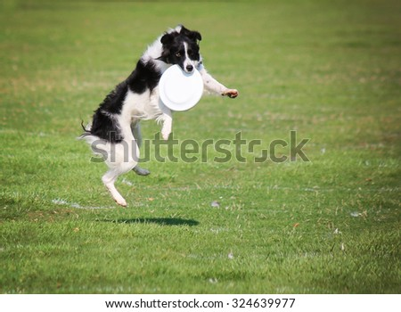 a cute dog in the grass at a park during summer catching a disc  - stock photo