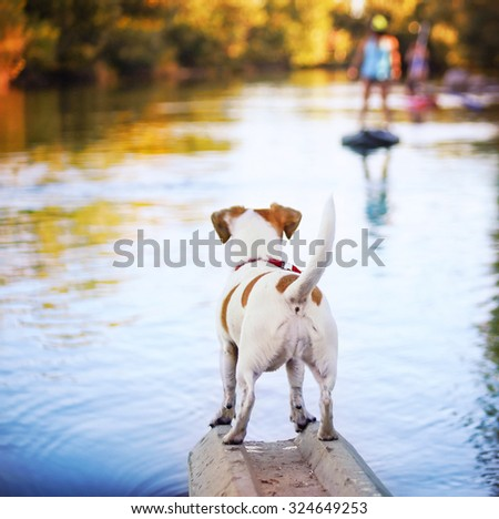 a cute jack russell terrier enjoying the river outdoors on a summer day toned with a retro vintage instagram filter effect  - stock photo