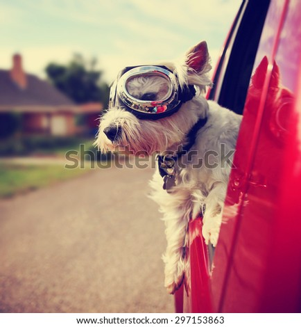a cute westie - west highland terrier with goggles on riding in a car down an urban neighborhood road toned with a retro vintage instagram filter effect app  - stock photo