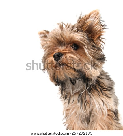 a cute yorkshire terrier on a white background focus on the nose  - stock photo