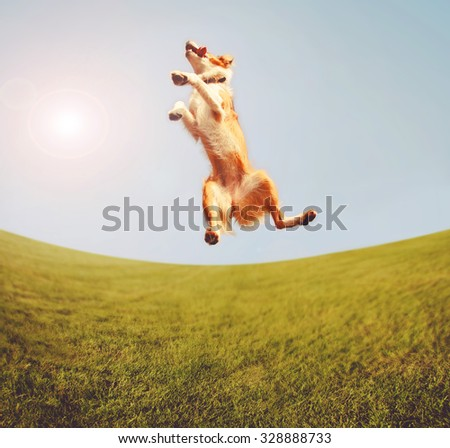 a dog jumping for joy in the middle of a field and a bright blue sky toned with a retro vintage instagram filter app or action effect  - stock photo