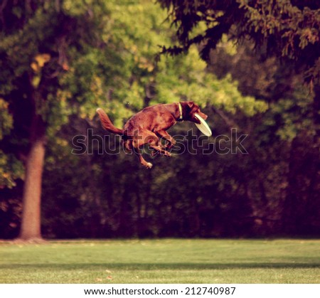a dog playing jumping in the air in a park catching a frisbee toned with a retro vintage instagram filter effect  - stock photo