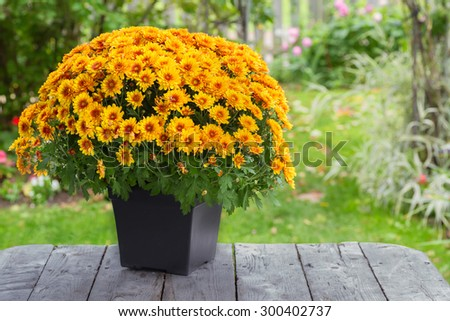 A fall potted chrysanthemum in a back yard garden. - stock photo