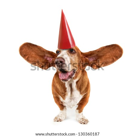 a funny basset hound with a birthday hat on - stock photo