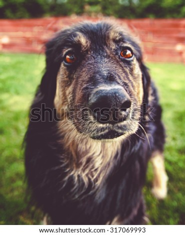a german shepherd dog out in nature looking at a ball to be thrown with his tongue out - close up toned with a retro vintage instagram filter app or action effect (SHALLOW DOF) - stock photo