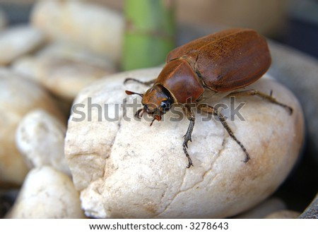 A huge beetle on a rock. - stock photo