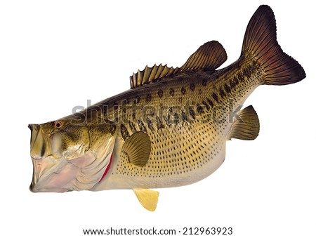 A huge sixteen- pound Largemouth Bass (Micropterus salmoides) isolated on a white background. - stock photo
