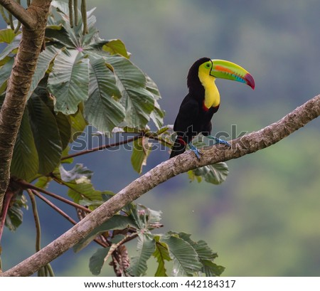 .A Keel-billed Toucan perfectly positioned to show it's colorful plumage, perceives all that surrounds it.  Photographed in the wild in rural Costa Rica near Arenal Volcano. - stock photo