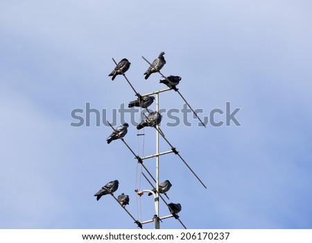 A kit or loft of  grey  pigeons constituting  the bird clade Columbidae sit   TV antenna of an iron roofed suburban house on a  hazy cloudy  but sunny afternoon in winter. - stock photo