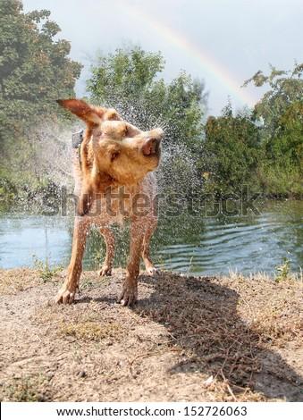 a labrador retriever shaking off water  - stock photo