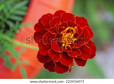 A marigold flower close-up                               - stock photo