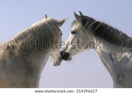 A nice pair. Two thoroughbred horses standing in winter corral - stock photo