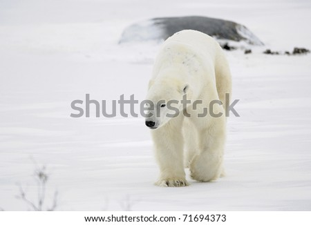 A polar bear going on snow. - stock photo