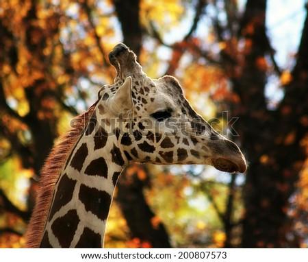a portrait of a pretty giraffe  - stock photo
