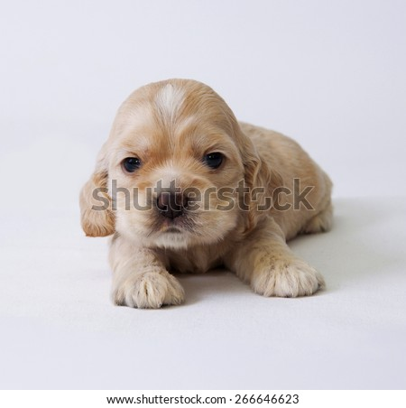 A puppy of American cocker spaniel. Two weeks old.  - stock photo