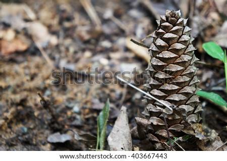 A single pinecone on ground                               - stock photo