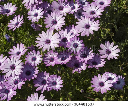 A small clump of African daisy Osteospermum  plants from the Asteraceae species adds color to the winter and spring  landscape with long flowering  white pink and purple  blooms . - stock photo