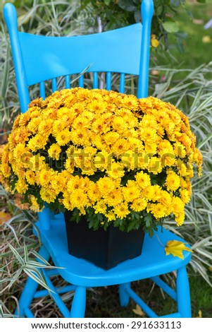 A striking yellow chrysanthemum on a pretty blue chair in the garden.   - stock photo