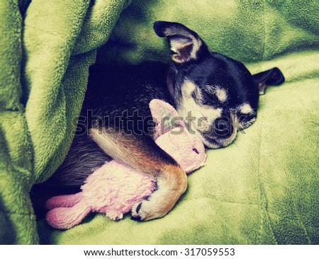a tiny chihuahua cuddling with his pink bunny stuffed animal toy under a green blanket  - stock photo