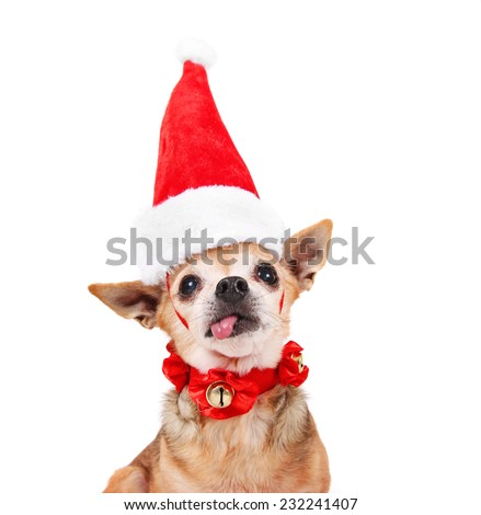 a tiny chihuahua dressed in a christmas outfit  - stock photo