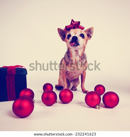 a tiny chihuahua dressed in a christmas outfit toned with a retro vintage instagram filter effect  - stock photo