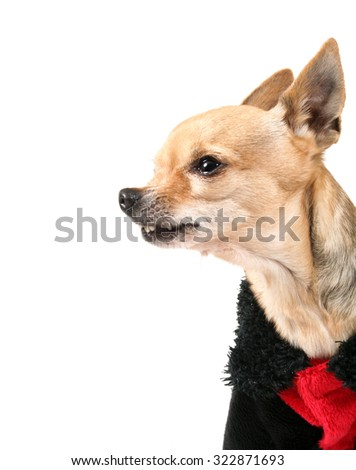 a tiny chihuahua dressed in a ladybug pattern coat  - stock photo