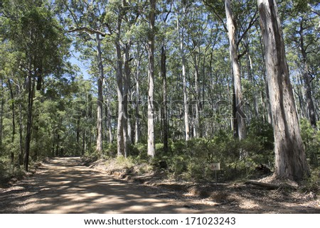A view of the sandy track  winding through the   shady  secluded peaceful  and remote  Boranup National park karri forest between Augusta and Yallingup Western  Australia on a sunny summer afternoon. - stock photo
