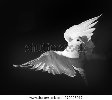 a white pigeon - stock photo