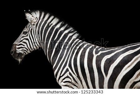 a zebra, a herbivore African animal on black background - stock photo