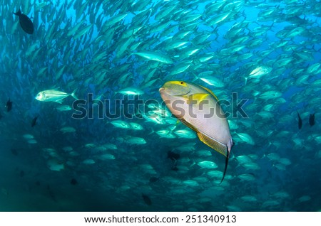 surgeonfish stock photos images amp pictures shutterstock