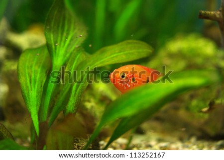 African cichlid hidden among the leaves in the aquarium - stock photo