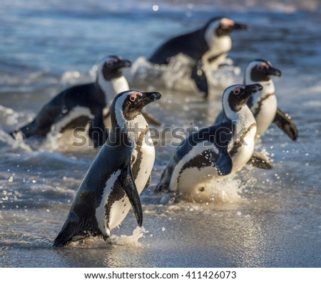 African penguins (spheniscus demersus) walk out from ocean. Boulders colony in Cape Town, South Africa - stock photo