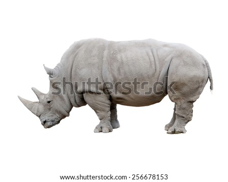 African Rhino isolated on a white background                              - stock photo