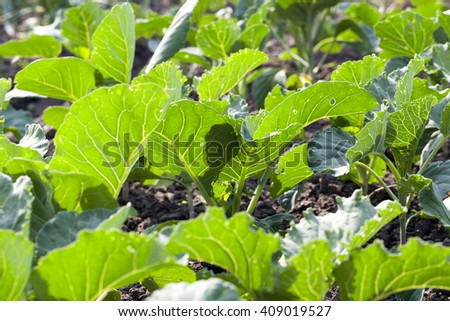 Agricultural field on which grow the young green cabbage, spring season - stock photo