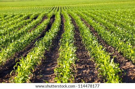 agricultural field on which grow up corn. small depth of sharpness - stock photo