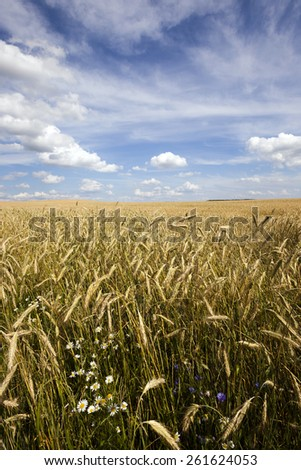 agricultural field on which grows green unripe cereals - stock photo