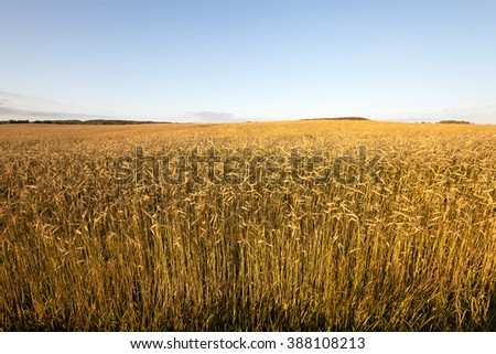 agricultural field, which grows not yet mature, but yellowing rye. - stock photo