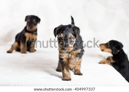 Airedale puppies - stock photo