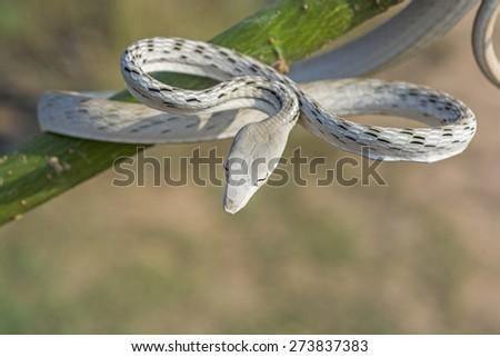 Albino  snake - stock photo