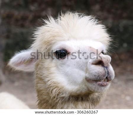 Alpaca, eye - stock photo