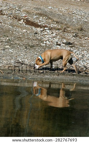 American Staffordshire Terrier  on the beach of a lake           - stock photo