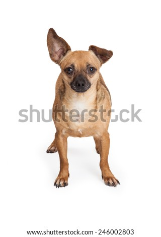 An adorable Chihuahua Mix Breed Dog standing while looking into the camera.  - stock photo