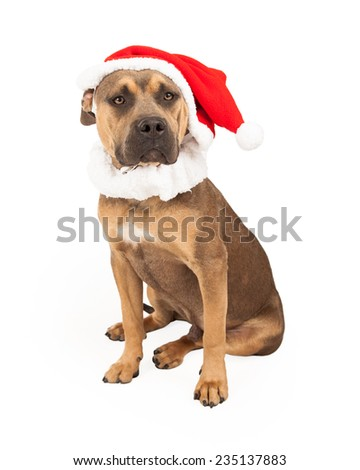 An adorable Staffordshire Bull Terrier Mix Breed Dog  wearing a Santa cap while sitting.  - stock photo