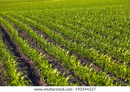 an agricultural field on which grow up corn - stock photo